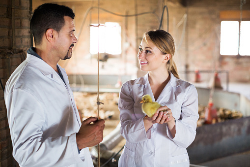 Mỹ treo thưởng gấp 5 lần Nobel để cứu sống 7 tỷ con gà trống mỗi năm