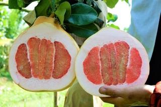 Trái bưởi hồng rực nặng 3,5 kg, hàng lạ gây sốt thị trường