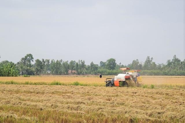 Lúa chín đầy đồng, 'cò' ép giá, nông dân như 'ngồi trên đống lửa'