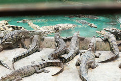 HCM City crocodile farming in a deep slump