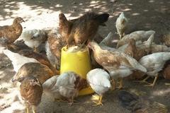 Tiền Hải: Tiêm vaccine phòng bệnhcho gia cầm là giải pháp ưu tiên hàng đầu