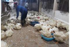 Thái Bình đồng bộ các giải pháp để phòng ngừa dịch bệnh cho đàn gia cầm
