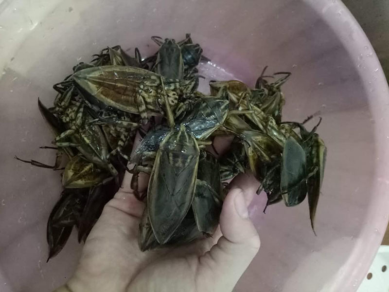 Essence of giant waterbugs has value in Vietnam, favored by wealthy