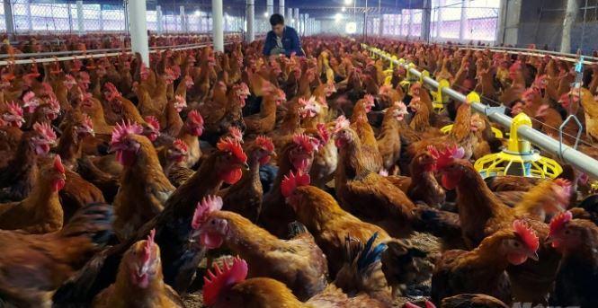 Yên tâm sản xuất nhờ áp dụng công nghệ 4.0, nuôi gà sinh học