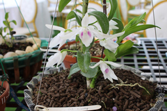 Hương sắc ngập tràn triển lãm hoa lan ở Ba Vì