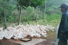 Thanh Hóa: Áp dụng rộng rãi chế phẩm sinh học trong chăn nuôi gia cầm
