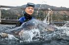 Đàn cá tầm khổng lồ Beluga siêu hiếm trong hồ Thuỷ điện Sơn La