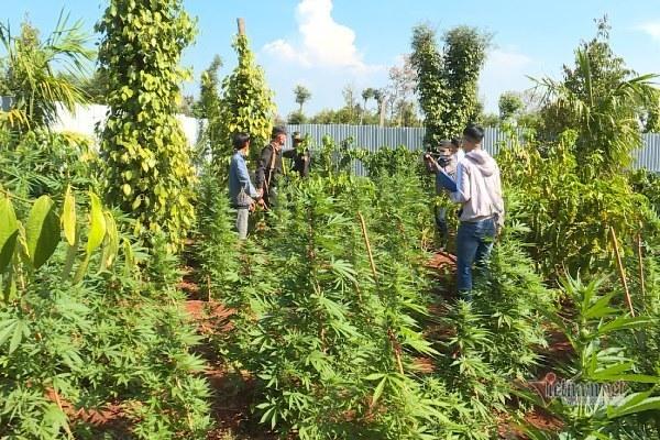 Bắt 5 vụ trồng cần sa, thu giữ 1.900 cây
