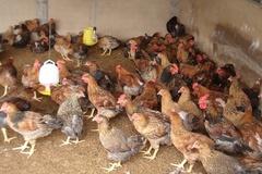 Chăn nuôi gà an toàn sinh học giúp giảm thiểu ro dịch bệnh lây lan