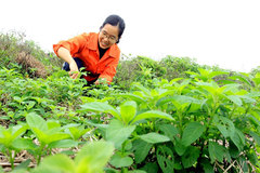 Thai Binh woman quits high-flying career to launch herb farm