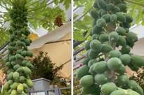 """""""Nữ đại gia"""" khoe cây đu đủ mọc trái """"ngang ngược"""" trong vườn nhà, dân mạng nhìn vào liền phán 1 câu: Chỉ nhà giàu mới có!"""