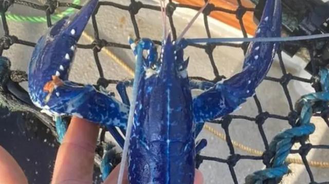 Ngư dân bắt được tôm hùm xanh dương 'hai triệu con mới có một'