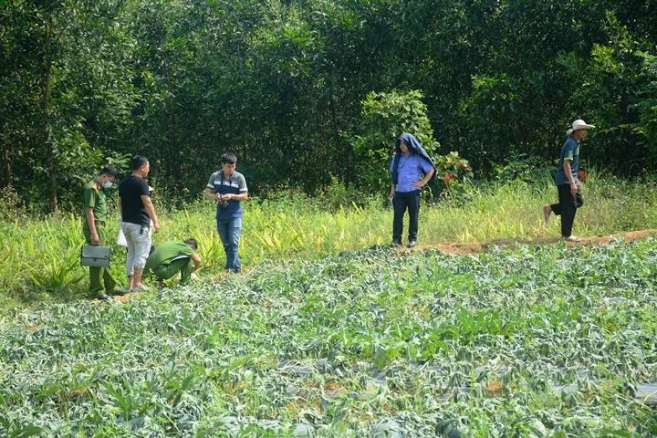 Người dân chết lặng nhìn 1.000 cây dưa hấu sắp thu hoạch bị kẻ xấu cắt gốc