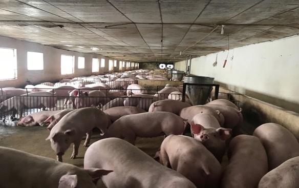 Nuôi lợn sinh học bằng thức ăn trộn nghệ đỏ, vật nuôi sinh trưởng tốt, giảm thiểu dịch bệnh
