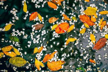 Dreamy Hanoi in the falling dracontomelon leaves season