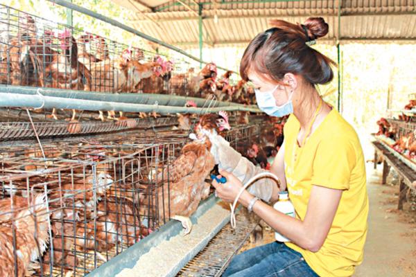 Nghệ An: Tiêm phòng triệt để bệnh cúm gia cầm đạt 100% diện phải tiêm
