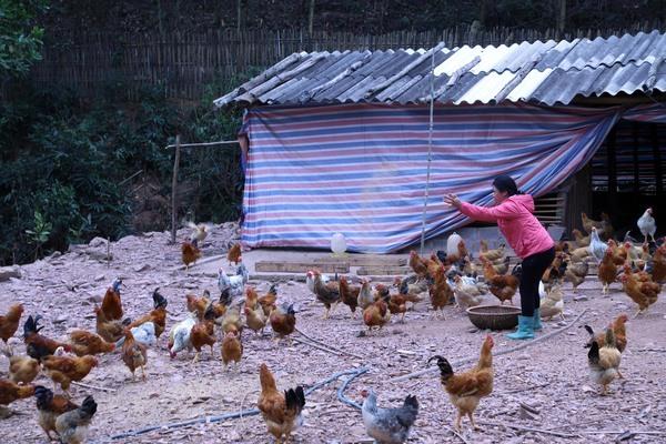 Cảnh giác cao với dịch cúm gia cầm H5N1 đang bùng phát tại Campuchia