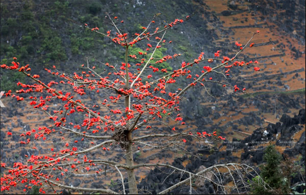 Red silk-cotton flower heats up Ha Giang rocky plateau