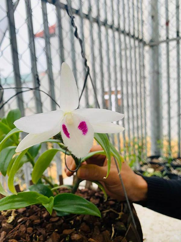 Chủ vườn lan Hoà Bình 9 năm mê mải loài hoa 'vương giả'