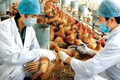 """An toàn sinh học là """"lá chắn"""" bảo vệ bệnh dịch nguy hiểm trong mô hình chăn nuôi gia cầm"""