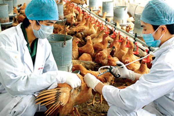 Chăn nuôi gia cầm an toàn: Dùng vaccine chủ yếu là phòng bệnh