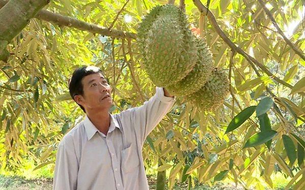 Tại sao Việt Nam chưa thể xuất khẩu sầu riêng chính ngạch vào Trung Quốc?
