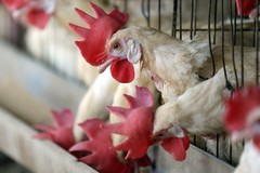 Phát triển gà GMO kháng bệnh cúm gia cầm