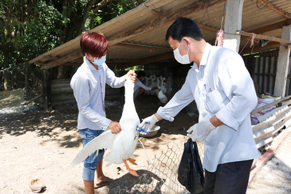 Vắc xin phòng chống cúm gia cầm: Hiệu quả và thời gian miễn dịch phụ thuộc vào người sử dụng