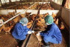 Hà Nội: Bố trí kinh phí phục vụ công tác phòng, chống dịch cúm gia cầm trên gia cầm và ở người