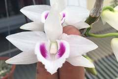 The secret of mutant orchids selling for billions of VND