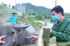 Tuyên Quang tiêm vaccine phòng bệnh cho gia súc, hạn chế thấp nhất rủi ro