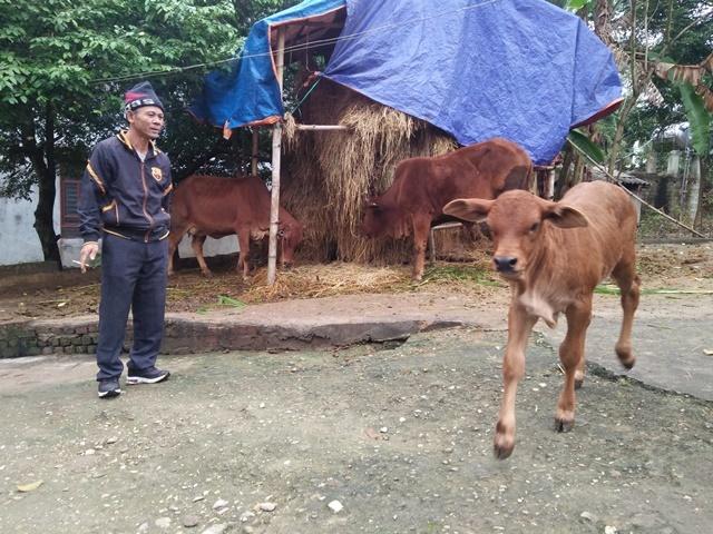 Pom Lót: Đẩy mạnh chăn nuôi bò sinh sản an toàn sinh học