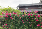 Nàng dâu Việt ở Nhật trồng vườn hoa hồng tuyệt đẹp bên hàng rào