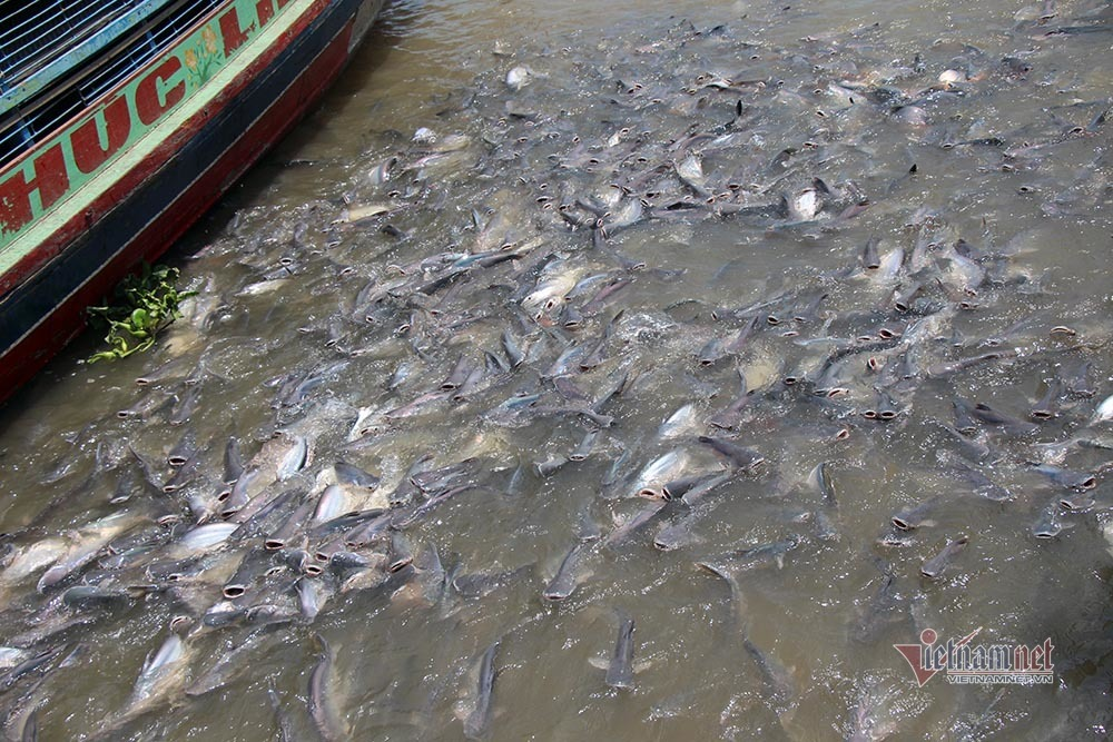 Người đàn ông miền Tây chi trăm triệu nuôi đàn cá 'hoang' dưới sông