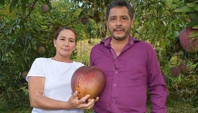 Vợ chồng nông dân thu trái xoài 'khủng' 4,25kg lập kỷ lục thế giới