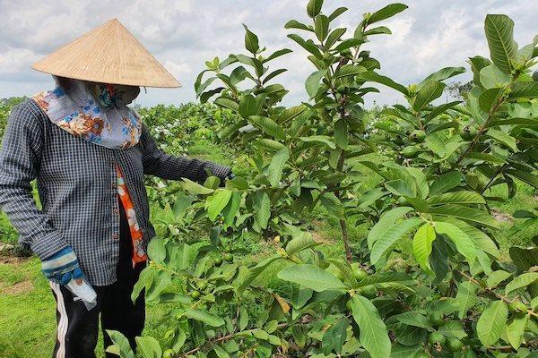 Mít Việt 'chao đảo' bởi chiêu ép giá của thương lái Trung Quốc