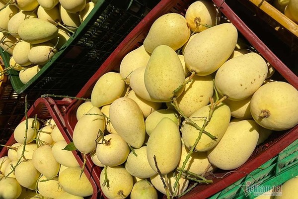 Mango exports: Cambodia has become Vietnam's rival in the Chinese market