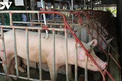 Giá lợn hơi trong nước tiếp tục giảm, xuống mức thấp nhất trong 1 năm qua