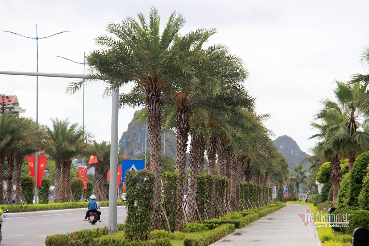 Chà là trĩu quả dọc con đường đẹp nhất Hạ Long, người dân đợi chín để vặt