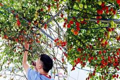 Mẹ đảm Hải Phòng vác đất lên sân thượng, tự tạo 'nông trại' hữu cơ xanh tốt