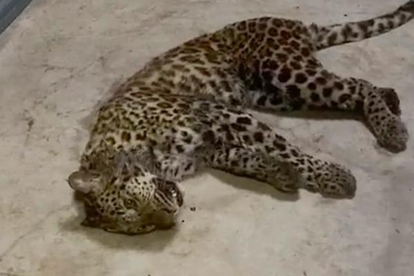 Sở thú Trung Quốc để báo xổng chuồng suốt một tuần