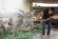 Lai Châu xử nghiêm việc buôn bán, giết mổ lợn nghi mắc bệnh để ngăn dịch lở mồm long móng xâm nhiễm