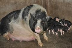 Chăn nuôi lợn hữu cỡ, người dân bớt gặp rủi ro vì dịch bệnh