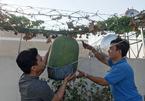 Bí đao'khổng lồ' nặng hơn 34 kg trên vườn sân thượng Sài Gòn
