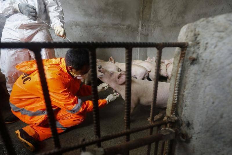 Philippines ban bố tình trạng thảm họa vì dịch cúm lợn châu Phi