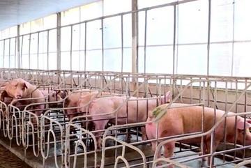 Chăn nuôi lợn trong chuồng lạnh, ngăn ngừa dịch lở mồm long móng