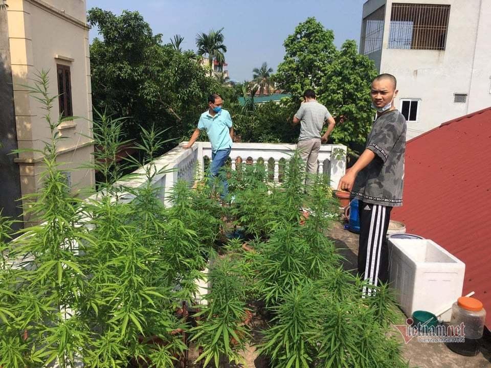 Phát hiện vườn cần sa trong nội thành Hà Nội