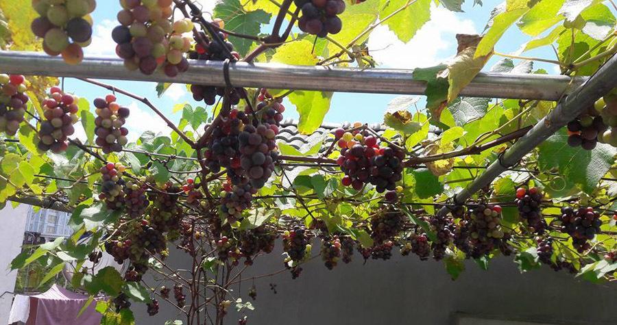Những khu vườn trĩu quả, triệu người mê trên sân thượng