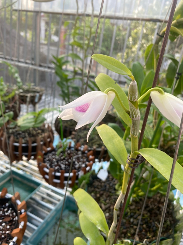 Chủ vườn lan 8x tư vấn cách nhân giống hoa lan rừng