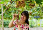 Vườn nho trĩu quả ở miền Tây thu hút người dân đến check-in